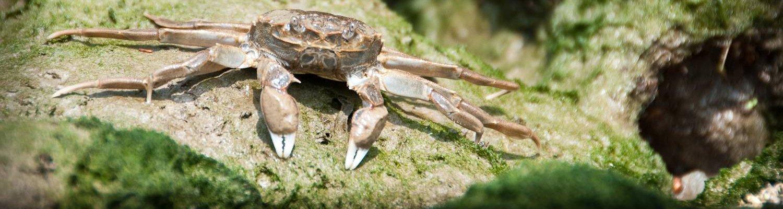 A mitten crab, © GB NNSS